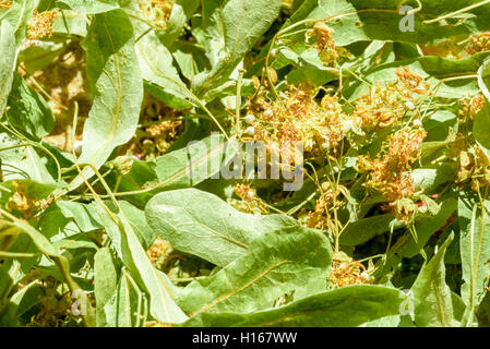 Closeup of fresh green lime tree Tilia flowers and leaves dried for adding to hot beverages like tea and for herbal - Stock Image
