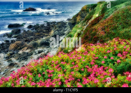 Wild Geraniums and path to ocean. Sonoma County. Claifornia - Stock Image