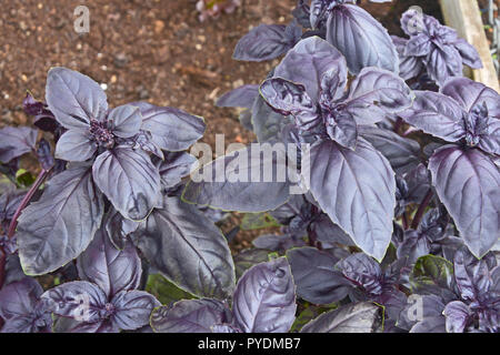 Close up of Purple Basil in a herb garden - Stock Image