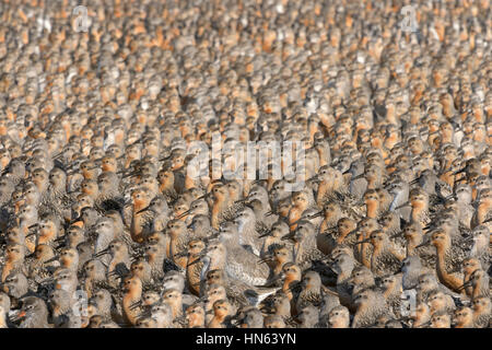 Flock of red knot (Calidris canutus) at high tide roost. Snettisham RSPB reserve, Norfolk, England. August. - Stock Image