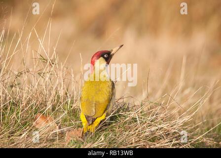 adult male European Green Woodpecker, Picus viridis, on grassland, Hampstead Heath, London, United Kingdom - Stock Image