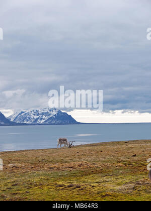 Wild native reindeer on the plateau of Alkhornet, Svalbard, Spitsbergen in the Arctic Circle, part of Norway.  Covered in glaciers and fjords - Stock Image