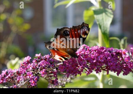Peacock Butterfly feeding on Buddleja flowers - Stock Image