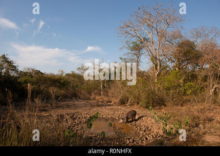 A Brazilian Tapir (Tapirus terrestris) drinking from a drying water hole in North Pantanal during the peak of the dry season. - Stock Image