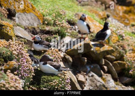 Razorbills from Saltee Island in County Wexford - Ireland - Stock Image