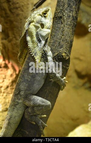 A frilled lizard, native to Australia and New Guinea, at Cotswold Wildlife Park, Burford, Oxfordshire, UK - Stock Image