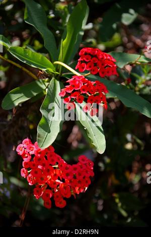Crown of Thorns, Euphorbia milii var. hislopii, Euphorbiaceae. Antananarivo, Madagascar, Africa. - Stock Image