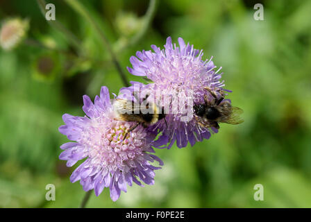 Bees at work on Field Scabious. (Knautia arvensis) - Stock Image