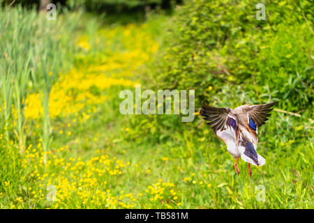 Wildlife action portrait of Male Mallard duck taking flight from behind on lush green background. Taken in Dorset, England. - Stock Image