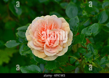 Rosa 'Joie de Vivre' in close up in a country grden - Stock Image