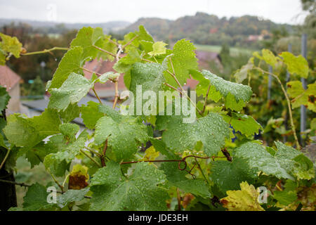 Vine leaves with droplets after the rain, in the background a village, the river Elbe and hills. - Stock Image
