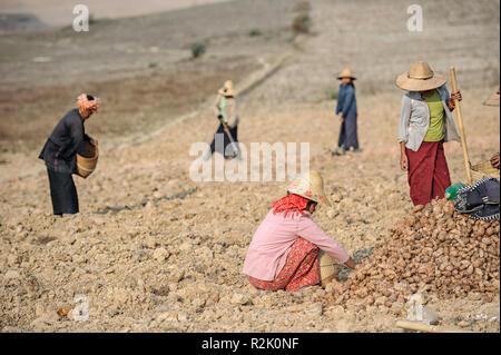 Women harvesting taro root (Colocasia esculenta) in Shan State, Myanmar - Stock Image