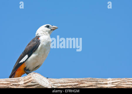 White Headed Buffalo Weaver, Tanzania Africa perched on a cut log - Stock Image
