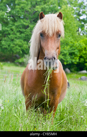 Young chestnut Icelandic horse with grass in its mouth - Stock Image