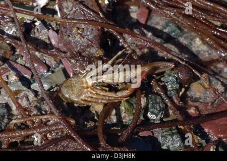 Squat lobster (Galathea squamifera: Galatheidae) underside in a rockpool on the lower shore UK - Stock Image