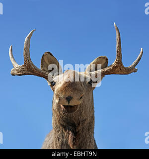Close-up of the head of a stuffed moose. - Stock Image