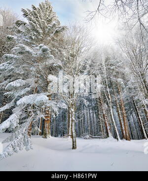 landscape with wood with snow in winter - Stock Image