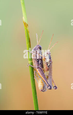 Dew-covered Atlantic Grasshoppers (Paroxya atlantica) mate on a plant stem in the cool air of early morning. - Stock Image