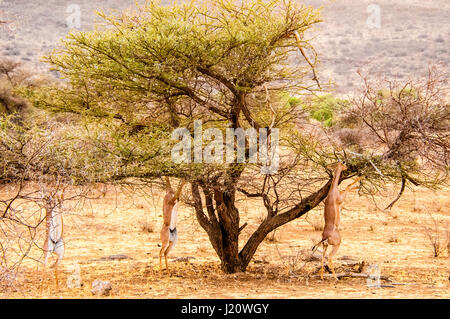 Three wild African Gerenuks,Litocranius walleri, browsing, eating from a tree in the Buffalo Springs Game Reserve, - Stock Image