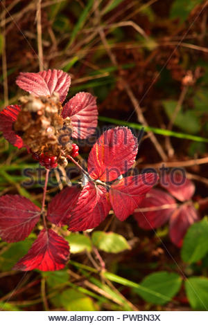 Autumn Red Leaves - Stock Image