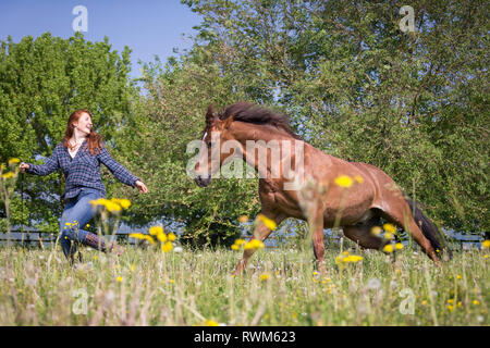 Missouri Fox Trotter. Red-haired young woman playing with chestnut gelding on a pasture. Switzerland - Stock Image
