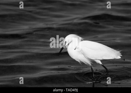 Black and white image of Snowy Egret in water - Stock Image