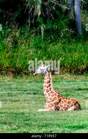 A very cute baby Rothschild's giraffe sits alone on the ground - Stock Image