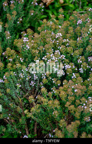 Blossom of wild aromatic kitchen herb Thyme in Provencal mountains, ingredient of Herbs of Provence, nature background - Stock Image