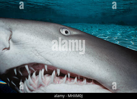 Sand Tiger Shark (Eugomphodus taurus) at night, Eastern Australia - Pacific Ocean.  Image digitally altered to remove distracting or to add more inter - Stock Image