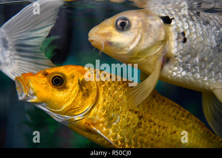 Gold and silver Koi carp fish in at Ripley's Aquarium Toronto - Stock Image