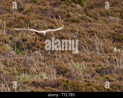 Female Hen Harrier (Circus cyaneus) returning to nest with prey in it's talons, North Uist, Outer Hebrides, Scotland - Stock Image