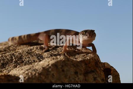 Tucson Banded Gecko Coleonyx variegatus lizzard in Sonoran desert Tucson Arizona - Stock Image