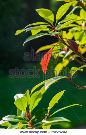 Photinia fraseri, Red Robin, ornamental, tree, shrub, showing leaf in October, Germany. - Stock Image