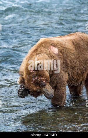 Brown Bear scratching its head, Brooks river, Katmai National Park, Alaska - Stock Image
