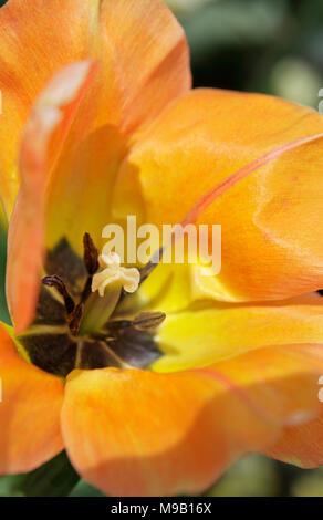 Tulipa 'Daydream' - Tulip close-up - Stock Image