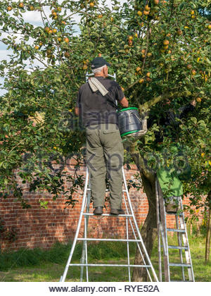 Apple picker up a wide step ladder picking apples from apple tree in orchard, Derbyshire, England, UK - Stock Image