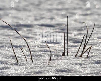 Frozen grass stalks stick out from meadow in the winter.  Shinning of ice crystals. - Stock Image