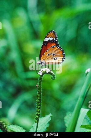 Plain Tiger butterfly, (Danaus chrysippus), on flowering plant, Keoladeo Ghana National Park, Bharatpur, Rajasthan, - Stock Image