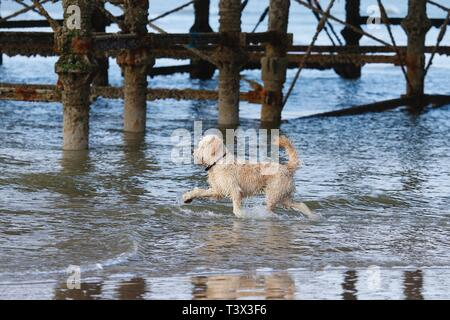 Hastings, East Sussex, UK. 12 Apr, 2019. UK Weather: Bright with sunny intervals in the seaside town of Hastings in East Sussex. This dog playfully runs into the sea by the Hastings pier. © Paul Lawrenson 2019, Photo Credit: Paul Lawrenson/Alamy Live News - Stock Image