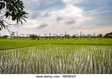 indonesia green rice fields with paddy plants, tree and gloomy sky - Stock Image