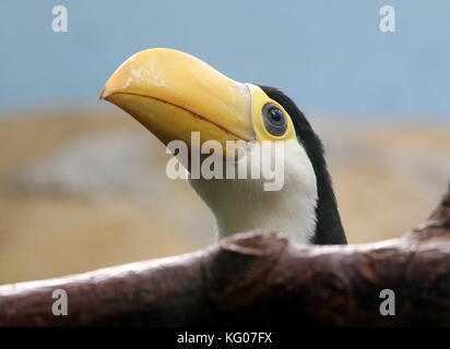 Baby South American Common or Toco Toucan (Ramphastos toco) in closeup - Stock Image