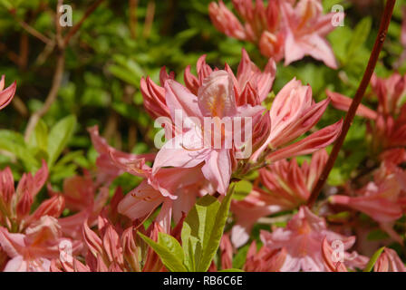Azalea bush covered in a mass of pink flowers in Spring, Dorset, England - Stock Image