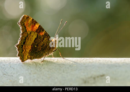 Large turtle, Nymphalis polychloros butterfly in an oak forest of Sardinia. - Stock Image