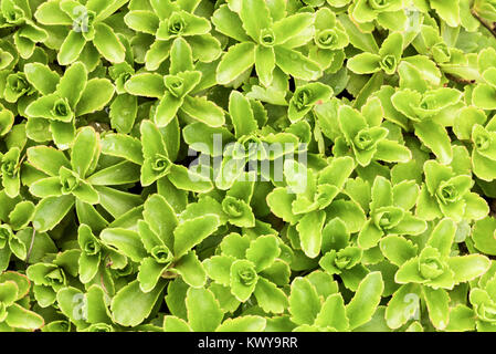 Green sedum detail. - Stock Image