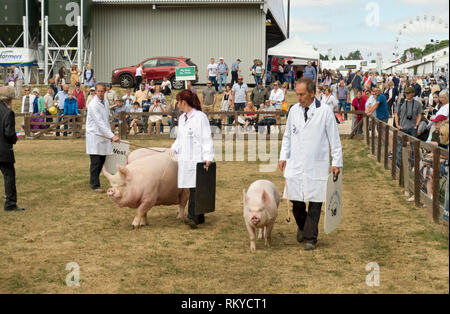 Pigs being judged at the Great Yorkshire Show. - Stock Image
