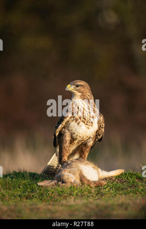 Common Buzzard ,Buteo buteo, feeding on rabbit at the edge of Suffolk moorland. - Stock Image