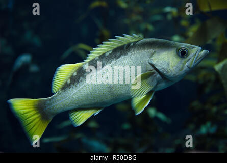Yellowtail Rockfish with yellow fins fish in kelp forest of the North American coast Pacific ocean - Stock Image