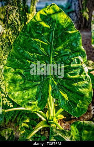 Italy Piedmont Turin Valentino botanical garden - Hosta Leaf - Stock Image