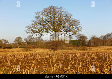 Wheat or Barley stubble in a field in winter - Stock Image
