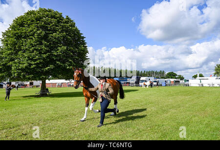 Ardingly Sussex UK 6th June 2019 - This competitor is in a hurry on the first day of the South of England Show held at the Ardingly Showground in Sussex. The annual agricultural show highlights the best in British farming and produce and attracts thousands of visitors over three days . Credit : Simon Dack / Alamy Live News - Stock Image